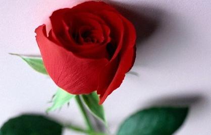 roza-zhiv