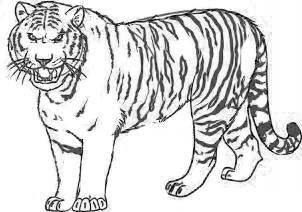 Тигр поэтапно карандашом для начинающих